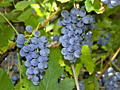 Продажа винограда(Лидия)