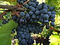 Продам виноград сортов Молдова, Изабелла и Лидия